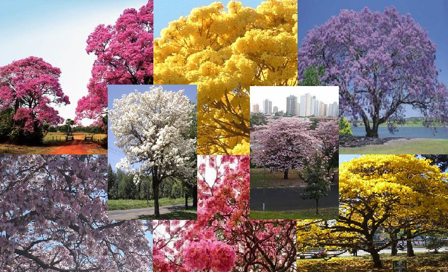 20-sementes-de-ip-branco-amarelo-roxo-rosa-10-saquinhos-D_NQ_NP_962705-MLB25064482080_092016-F.jpg