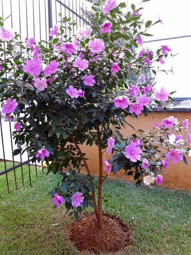 20 sementes de manacá da serra anão tibouchina mutabilis
