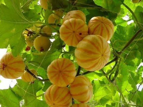 20 sementes de mini abóbora moranga deliciosa + frete grátis