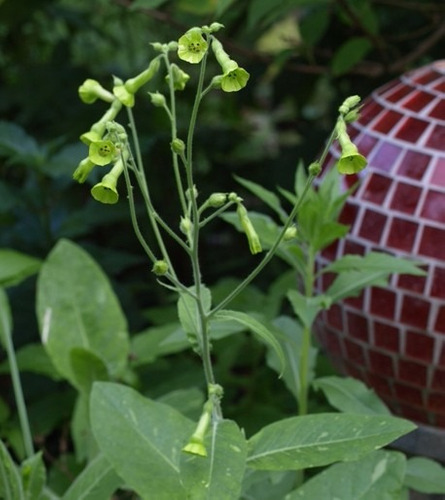 20 sementes de nicotiana langsdorffii tabaco de flor nativa!