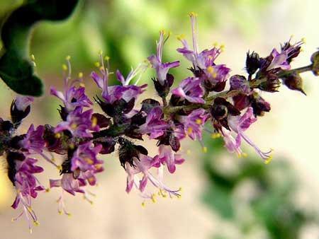 20 sementes de ocimum sanctum tulsi manjericão santo