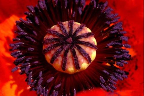 20 sementes de poppy brilliant - papoula - papaver orientale