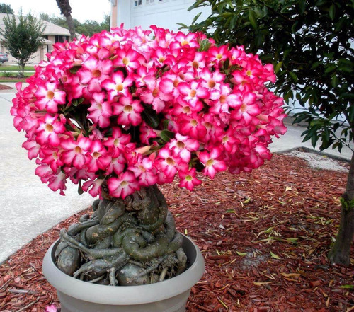 20 sementes de rosa do deserto( adenium obesum )mix de cores