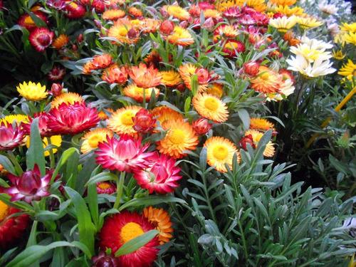 20 sementes de sempre viva australiana sortidas flor p/mudas