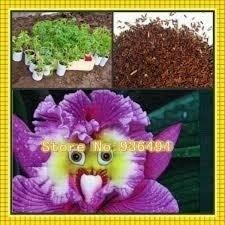 20 sementes orquídea cara de papagaio -frete gratis mesmo@