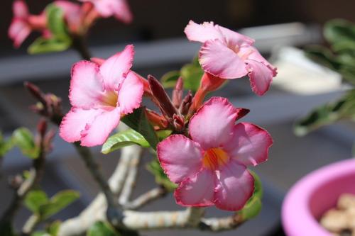20 sementes rosa do deserto adenium mix de cores + manual