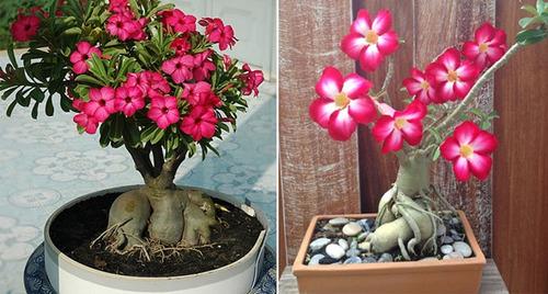 20 sementes rosa do deserto adenium obesum mix flores mudas