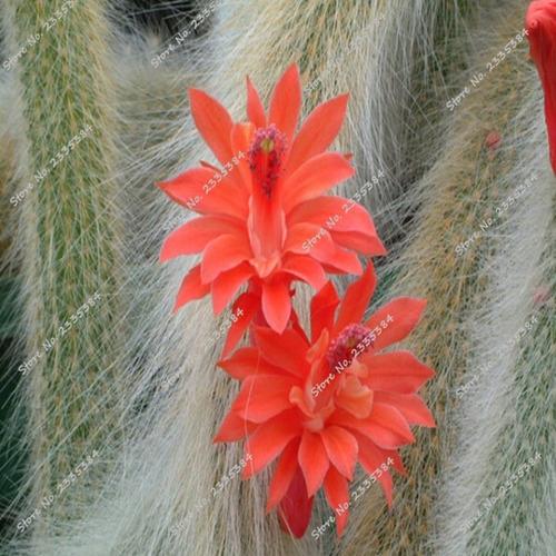 20 sementes suculentas/cactos cauda longa gato p/ mudas*****
