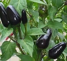 20 semillas chile exotico black pearl o perla negra envio gr
