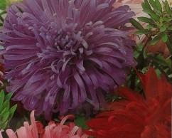 20 semillas de aster variada doble reina margarita