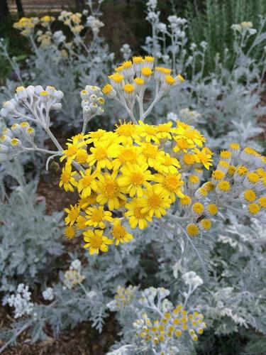 20 semillas de cineraria gris-maritima, dusty miller, planta