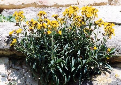 20 semillas de erysimum cheiri - alhelí europeo codigo 544