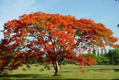 20 semillas flamboyant flamboyan delonix regia árbol fuego