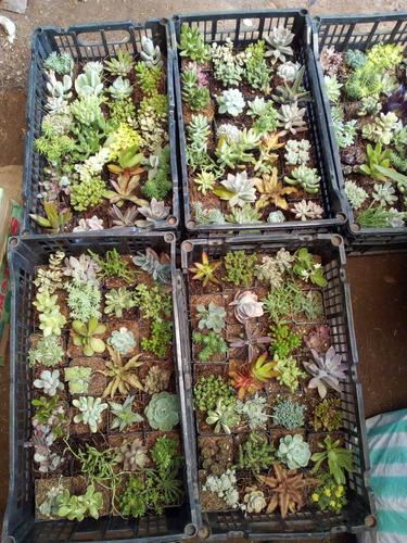200 cactus/suculentas