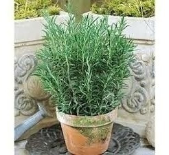 200 sementes de alecrim rosmarinho rosmarinus# envio gratis