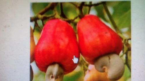 200 sementes de caju anão precoce selecionadas para plantio