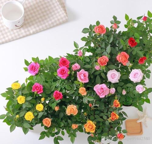 200 sementes de mini rosa cores sortidas raras p/muda
