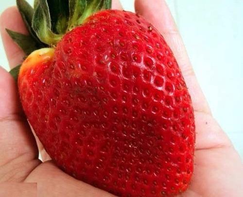 200 sementes de morango hib vermelho gigante # original