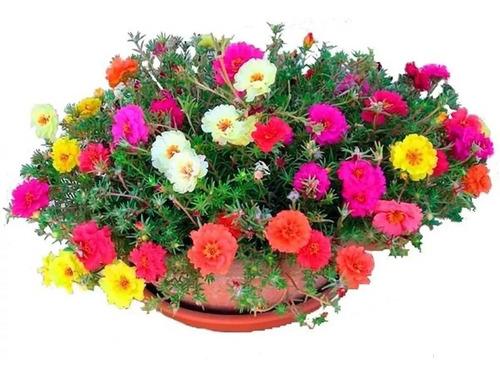 200 sementes onze horas dobrada mix portulaca flor pra vasos