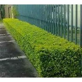 200 Sementes P Muda Pingo Ouro Cerca Viva Muro Verde Estatua