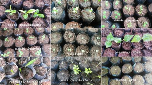 200 sementes tamboril p/ plantio - planta medicinal + brinde