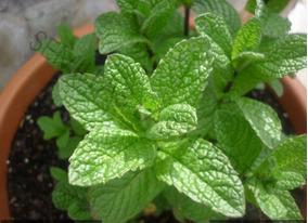 Semillas de Hierbabuena 200 Semillas de Mentha Spicata