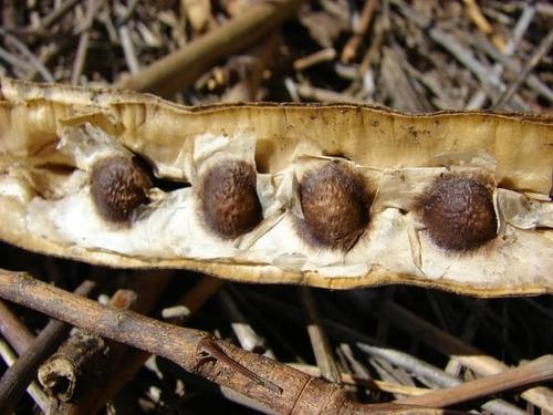 200  semillas de moringa