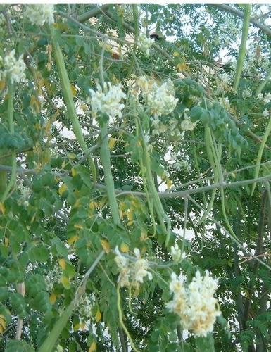 2000 sementes de moringa oleífera *frete grátis*