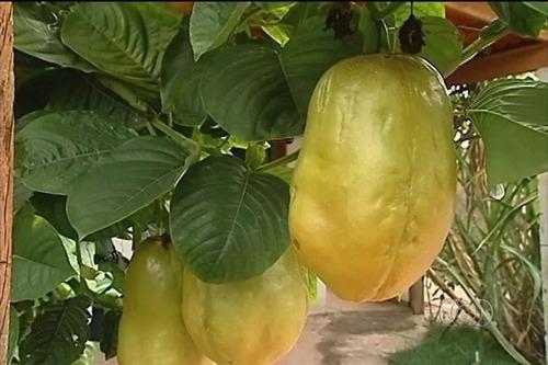2000 sementes maracujá açu doce gigante melão frete grátis