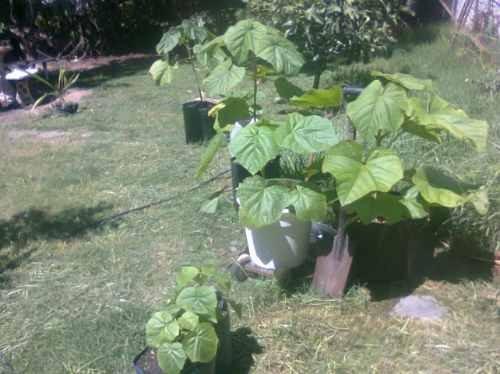 20000 semillas de kiri. envios a todo el pais. paulownia