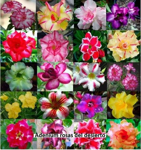 24 Colores Rosas Del Desierto Adenium Obesum Semillas S 4999 En