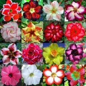 24 mudas de rosa do deserto dobradas e triplas mais brind