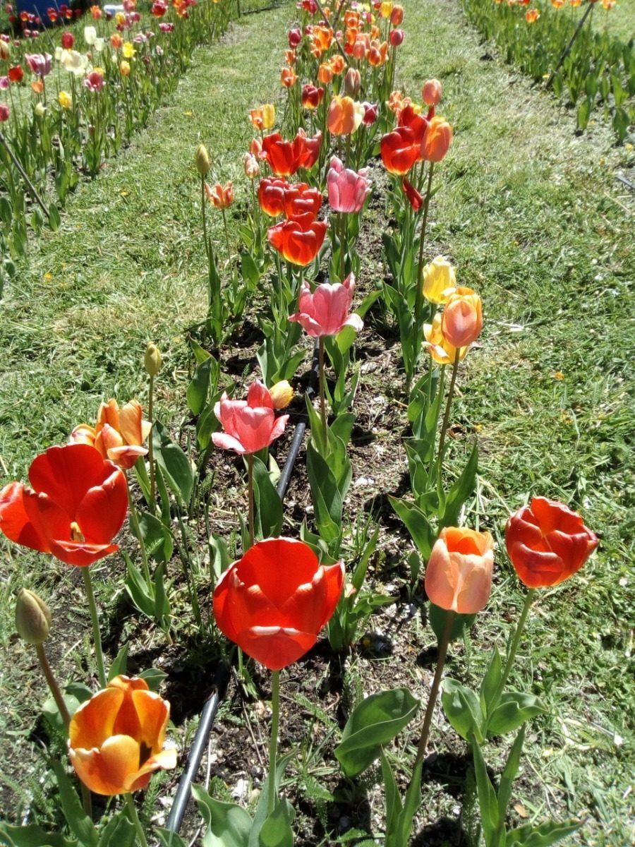 21 Bulbos De Tulip/án De Colores Mezclados