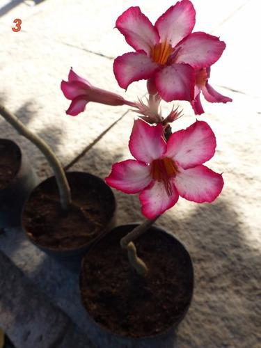 25 mudas (estacas) rosa do deserto - adenium  15cm media