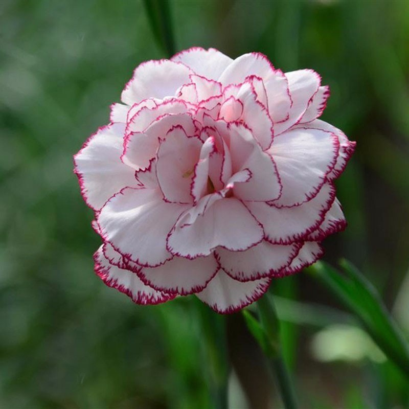 25 sementes cravo flor folheto como plantar r 9 59 em mercado livre - Fotos flores preciosas ...
