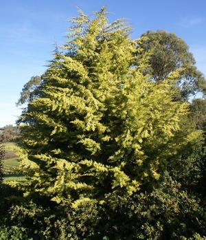 25 semillas de cypres - cupressus glabra codigo 950
