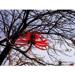 25 semillas de eritrina spp coralloides - colorin codigo 906