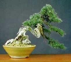 25 semillas de juniperus chinensis - enebro chino codigo 936
