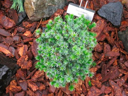 25 semillas de picea sitchensis - pícea de sitka codigo 949