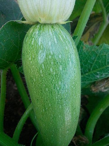 25 semillas orgánicas de zapallo zucchini