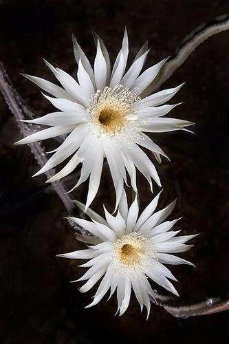 250 sementes de suculentas raras cactos(frete grátis) flores