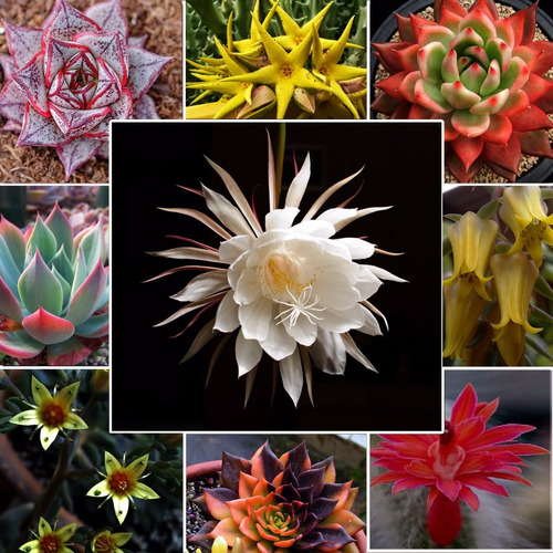 250 sementes de suculentas raras(frete grátis) flores