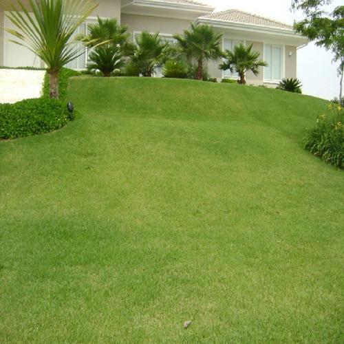 25.000 semente grama esmeralda tratada