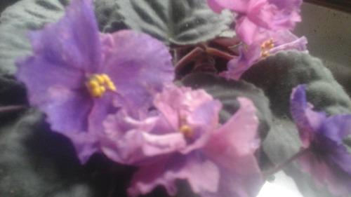 2x5  violetas africanas