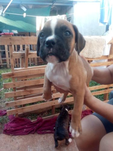 3 cachorro boxer de 45 días -vacunados