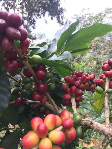 3 kg cafe orgánico alto amazonas lanzamiento -60% off grano