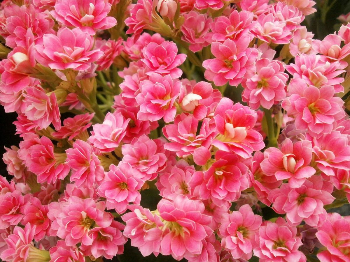 3 Mudas De Calandiva Planta Suculenta Flores Dobrada R 37 00 Em