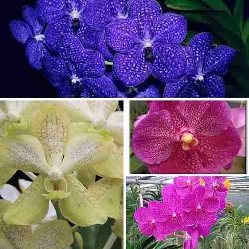 3 mudas orquidea vanda com avarias esteticas cores sortidas