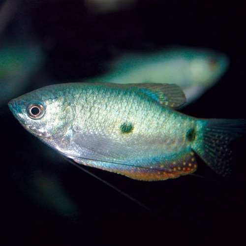 3 peces trichogaster trichopterus azul, centro de mdeo.