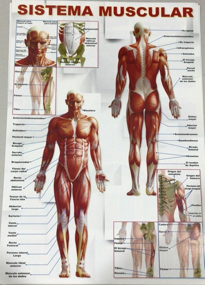 3 Poster Laminas Cuerpo Humano Músculos Vertebras Anatomia